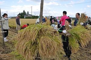 稲を干すために、棒を立てて掛けます。