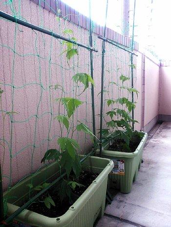 井上さんちのグリーンカーテン1