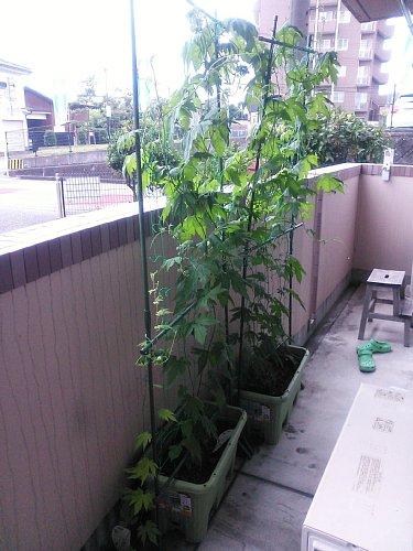 井上さんのグリーンカーテン