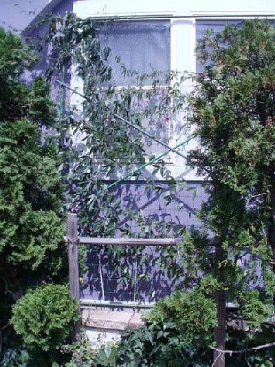 千葉さんちのグリーンカーテン