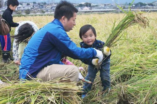 伊勢原米 収穫風景