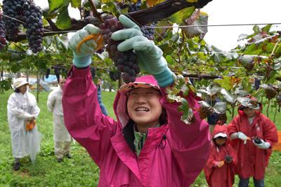 ぶどう収穫体験の様子