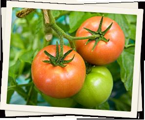 えびなトマト
