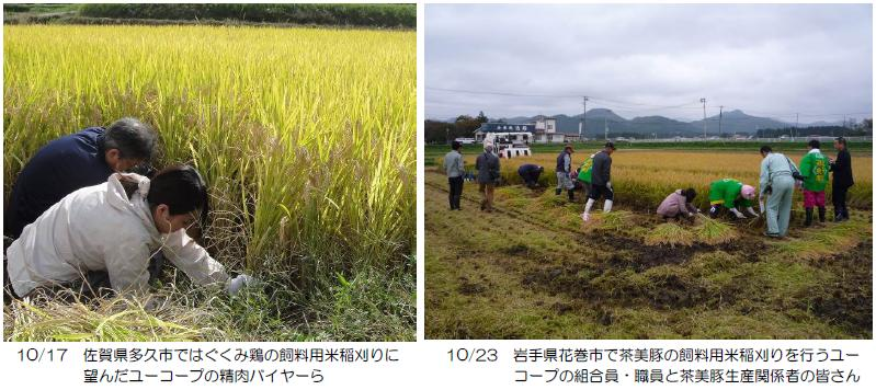 飼料用米の稲刈り