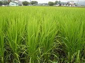 稲の発育は順調です