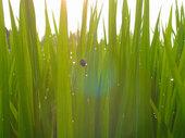 朝露が輝く稲穂とヒメアカホシテントウ