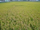 嵐を乗り越えた稲