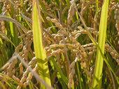 実の詰まった稲穂が金色に光ります