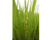 稲の花葯(やく)