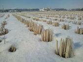 水沢カントリーエレベーターそばの田んぼです。 こちらは雪が少なめで、稲株が少し顔を出してました。