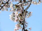 一気に開花した桜