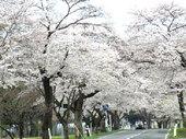 国道397号線(奥州市胆沢区)桜の回廊