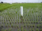 コープの田んぼの稲の育ち具合を測定しています