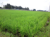 稲はすくすく発育しています