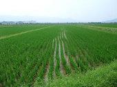 飼料用米は元気に育っているようで、例年通りの発育となっております。(7月23日撮影)