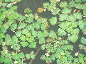 飼料用米圃場のきれいな水だから菱も育ちます