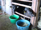 子牛は興味深々