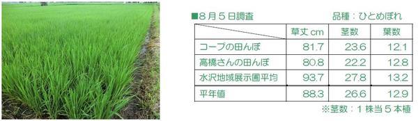 高橋さんの田んぼ、生育調査