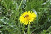 たんぽぽの蜜を吸うミツバチ