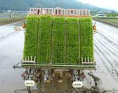 「はぐくみ鶏」の飼料用米田植えは今年で6回目になります。