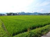 順調に生育している稲