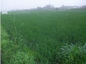 6月20日に田植えをした田んぼです。こんなに大きくなりました。