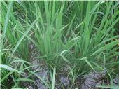 稲は健康にすくすく育っています。
