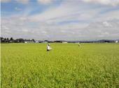 水沢水稲採種部会の第2期圃場審査