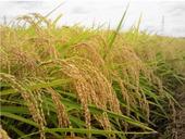 9/17現在の「コープの田んぼをつくろう!」の田んぼの稲の状況です。