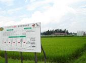 岩手県内で育つ 茶美豚 飼料用米