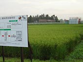 岩手県内で育つ 茶美豚 飼料用米1